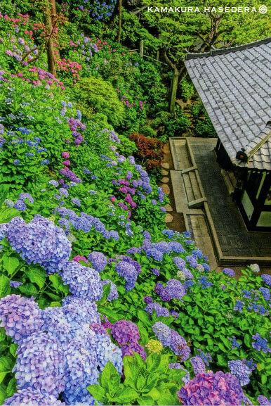 ポストカード 紫陽花