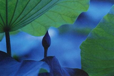 BLUE LOTUS ポストカード